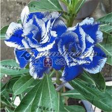 盆栽花卉沙漠玫瑰花苗绿植室内观叶观花防辐射植物四季循环开花