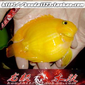 黄鹦鹉鱼 黄色魔法血鹦鹉 发财黄元宝财神热带鱼观赏鱼包活体批发