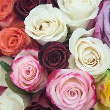 上海同城鲜花速递厄瓜多尔进口红白玫瑰 优尼鲜花 教师节生日送花