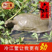 冷江甲鱼【野长土鳖】重1.9-2.1斤中华鳖苗野外生态放养鲜活团鱼