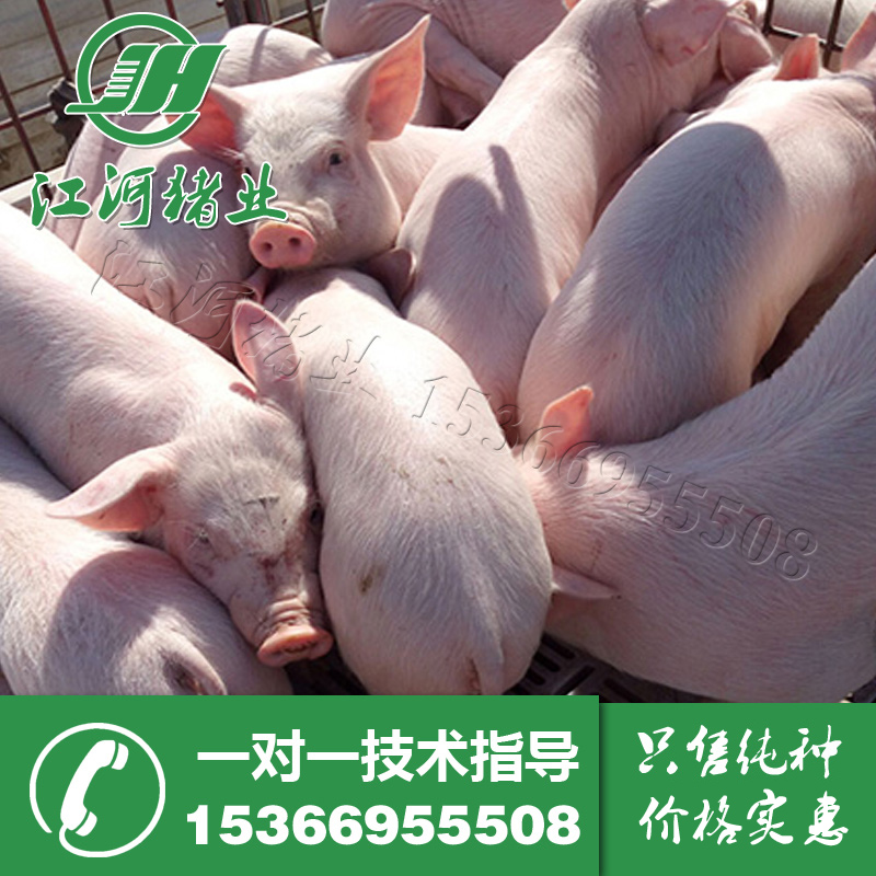 Hot Zhumiao Taihu sows of Beijing black pig Sutai sow two sows seed survival package Package Factory