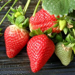 红草莓种子章姬奶油白草莓种籽盆栽家庭阳台花卉四季蔬菜水果包邮