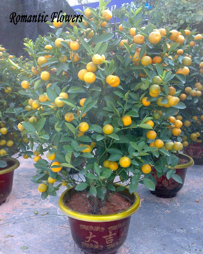 Delicious Golden Orange Seed, Mini Potted Fruit Tree Seeds,