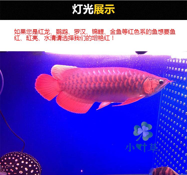veekindel led - lambi valgus välja kala akvaarium, mis on veetaimed, kalad. kolm põhilist eriotstarbeliste lampide papagoi, punane draakon.
