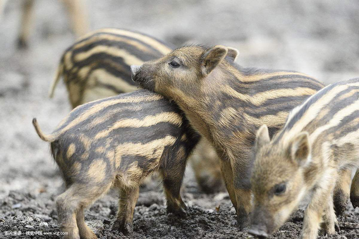 Small wild boar boar seed seedlings Zhumiao black pig purebred boar pig pet pig scheduled seedlings
