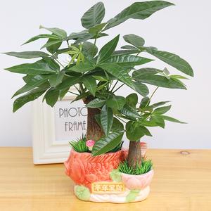 发财树小盆栽客厅办公室内绿植净化空气桌面招财水培植物盆景花卉