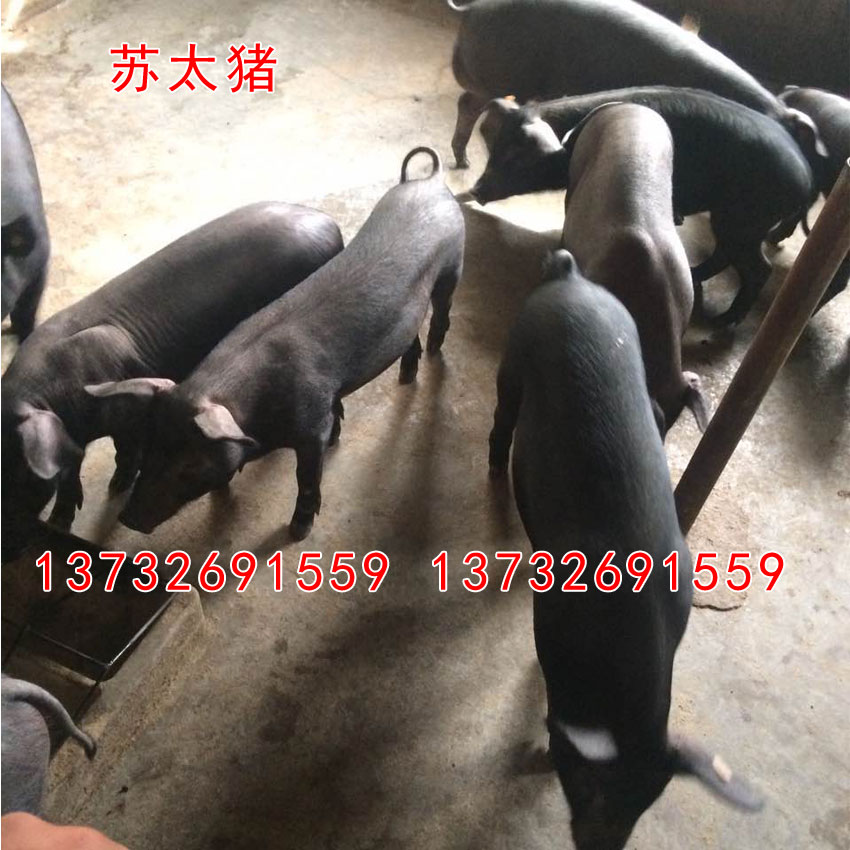 Purebred pig, boar, boar, Meishan, Beijing, Hei Huai and other pig lean breed pigs