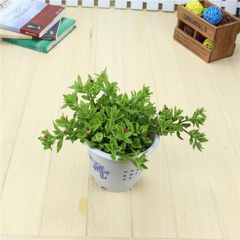 牡丹吊兰室内/办公室绿色植物盆栽