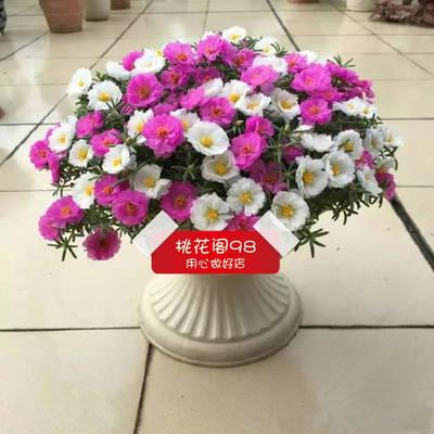 太阳花种子多色盆栽花卉种10粒