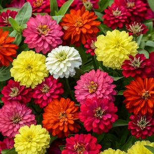 太阳花种子四季种易活开花不断盆栽