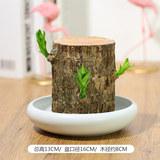 巴西木水培植物幸运木盆栽室内水养桌面绿植卷后21元起包邮