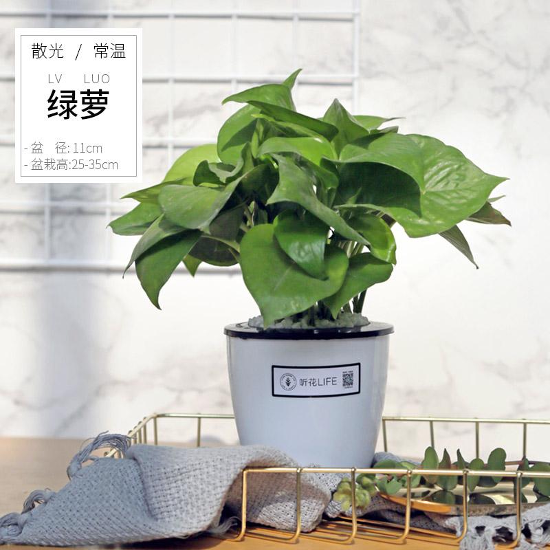 小叶绿萝盆栽室内垂吊吸甲醛