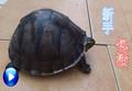 乌龟活体 素食龟吃菜龟 大型宠物龟 镇宅招财龟新手易养