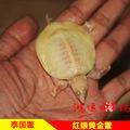 中华鳖 白化甲鱼 白化鳖 黄金甲 宠物龟鳖 水族新宠 泰国进口红眼