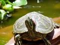 乌龟活体 素食吃菜龟 新手 半水龟巴西龟 产蛋种龟 3斤以上促销