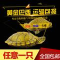 黄金巴西龟彩龟大乌龟活体宠物龟龟苗水龟招财龟情侣龟红耳龟