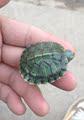 巴西龟苗养殖场直销 翠绿巴西财运黄金变异巴西 大个体活体宠物龟