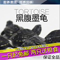 黑腹墨龟1只包邮 活体乌龟中华草龟苗檀香长寿龟招财龟2-9cm全品