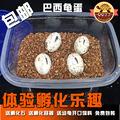 [转卖]乌龟蛋孵化DIY乌龟活体巴西龟中华草龟活体4颗受精卵