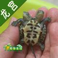 双头草龟变异草龟变异龟草龟招财龟吉祥龟旺财龟活体乌龟宠物乌龟