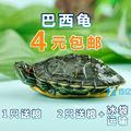[转卖]包邮外塘两栖观赏龟黄金巴西龟活体宠物大小乌龟苗彩龟蛋
