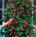 满2送1四季草莓苗 攀援草莓树爬藤草莓苗果树苗 阳台盆栽水果苗