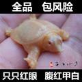 进口珍珠鳖苗乌龟活体观赏鳖宠物鳖美国角鳖变异白化甲鱼苗深水龟