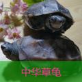 大乌龟活体 小中华草龟冷水龟陆金线墨龟一只6-7厘米包邮