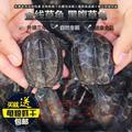 会飞的萍子纯种中华草龟外塘活体宠物乌龟墨龟金线龟招财镇宅包邮