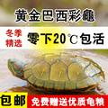 黄金巴西龟彩龟大乌龟活体宠物龟龟苗水龟招财龟情侣龟红耳龟包邮