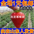 四季草莓苗果树苗木 盆栽草莓树苗 葡萄苗当年结果蓝莓苗橘子苗