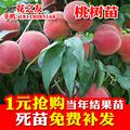 桃树苗 黄桃桃子树苗水蜜桃油桃嫁接树苗当年结果 猕猴桃葡萄草莓