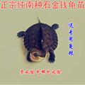 越南种南石龟石金钱龟石龟苗宠物观赏龟活体黄喉拟水龟低价 包邮