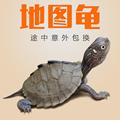2016密西西比地图龟苗龟活体宠物小乌龟深水淡水草龟锦龟陆龟包邮