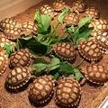 陆龟活体宠物龟苏卡达 赫曼陆龟 苏卡达陆龟活体吃菜龟素食龟活体