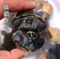 情侣龟一对 小乌龟厘米中华草龟乌龟宠物 乌龟活体墨龟金线包邮