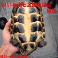 正宗11年南石金钱龟试蛋龟强公一条 活体宠物乌龟苗镇宅观赏包邮