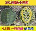 小巴西龟苗活体 宠物龟观赏龟红耳龟水陆龟招财龟3厘米 一只包邮