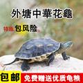 中华花龟 乌龟活体珍珠龟外塘长寿龟宠物龟龟苗水龟水陆招财龟