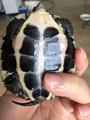正宗南石金钱龟苗 活体宠物乌龟越南种石龟 各种年份镇宅观赏包邮