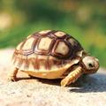 陆龟活体龟宠物陆龟素食龟吃菜龟赫曼龟活体乌龟招财龟包邮